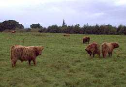 Vacas de cawdor